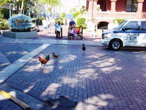 des poules dans les rues