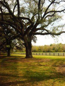 Arbre sur la Plantation Boone