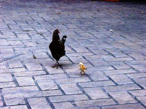 La poule promène son poussin