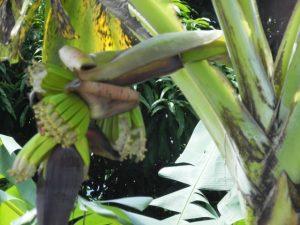 Bananier en fleurs